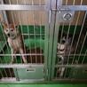 【監査】繋がります!同じ場所から保護された秋田犬① サムネイル3