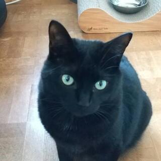 ゴマちゃん2歳 よく食べる黒猫女子クビレさようなら