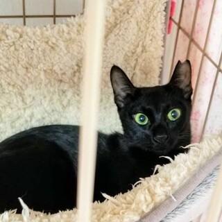 ピューマのようなしなやかな身体つき黒猫ルーナ♀