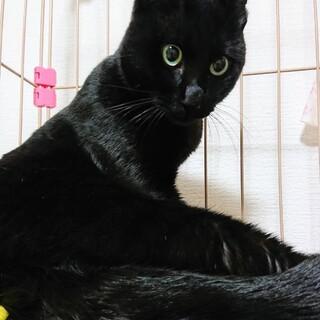 真っ黒で艶々の毛なみの黒猫カイト♂