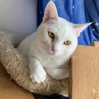 白猫の王子様 ボリー君