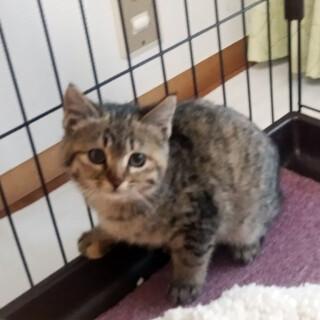 泣き顔のキジトラ およそ生後3ヶ月 2月28日保護