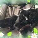 【ミナイ】推定3歳・オス・去勢済・大きな黒猫