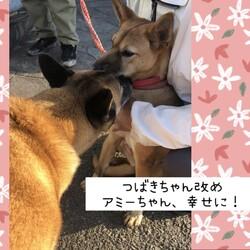 保護犬つばきちゃん改めアミーちゃん