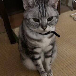 甘えん坊のおじいちゃんアメショ☆