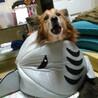 コーギーmix、雄、15歳、11キロ、中型犬