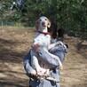 抱っこ好きの甘えん坊な美形ポインター サムネイル2