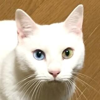 オッドアイがきれいな猫さんです♪