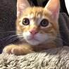 可愛い茶トラの子猫です。