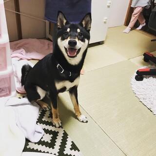 一歳の柴犬の新しい家を探しています!
