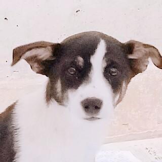 生後4か月仔犬  穏やかな子です。去勢手術予定