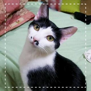 8月生まれの子猫 白黒・鼻ポチ兄妹 ラムちゃん