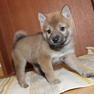 可愛い柴犬の子犬です。