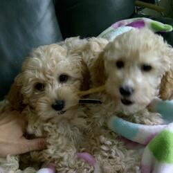 ドバイ生まれの双子犬