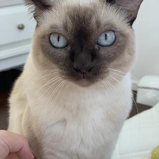 【優しい美猫】トンキニーズ