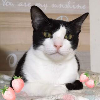 【熊太郎】白黒ハチワレ若猫くん