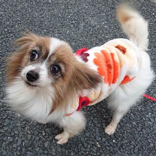 パピヨン7歳★リコちゃん 繁殖引退犬