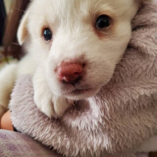 【ポンド】 元気いっぱい白ミックス仔犬