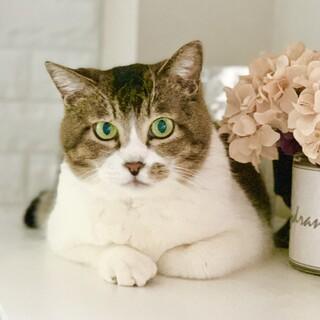 ぬいぐるみみたいな可愛いオトナ猫「のの」ちゃん
