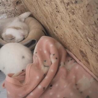 ミニウサギ 白