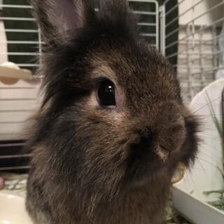 ミニウサギ里親募集です。