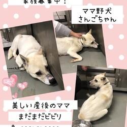 「倉敷のママ野犬さんごちゃん→譲渡決定!」サムネイル2