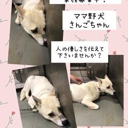 「倉敷のママ野犬さんごちゃん→譲渡決定!」サムネイル3