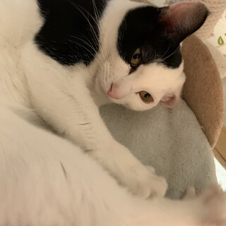 人生ハッピーなフリちゃん 白黒猫ちゃん