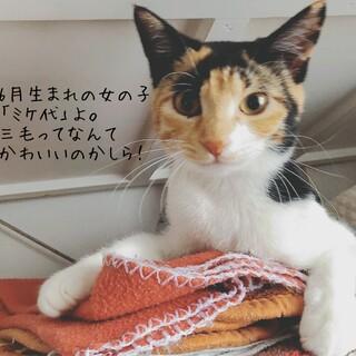 スリスリ三毛の「ミケ代ちゃん」♡