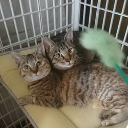 【開催中止】【要予約】猫ちゃんの里親譲渡会IN高井戸・杉並 サムネイル3