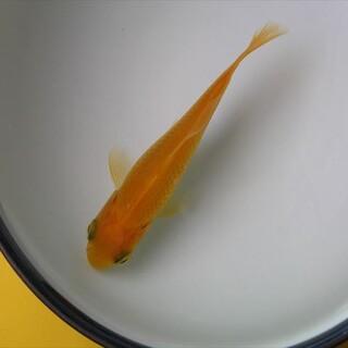 金魚(和金、7cm程)をもらってください。