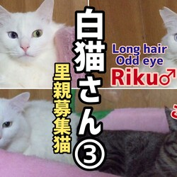 白猫【保護猫4期生リク編】