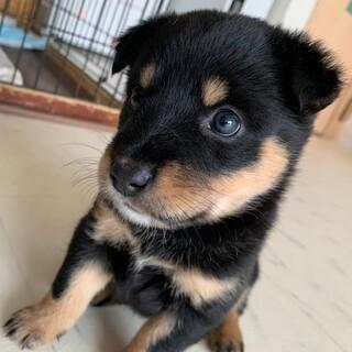 【小平市】蕾★保健所からレスキューした子犬(黒)