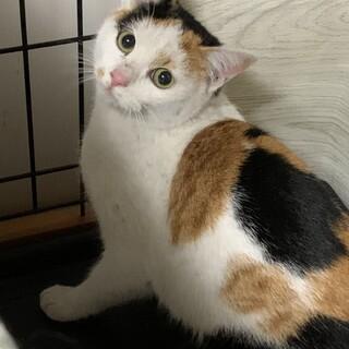 ビビりだけど激カワな三毛猫ミアちゃん