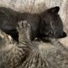 3月4日生まれの黒猫の男の子。 サムネイル3