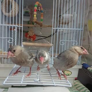 白文鳥と桜文鳥の里親募集