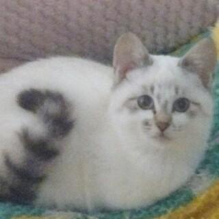 とても人懐こく穏やかグレー&白・ブルーアイの子猫