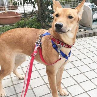 琉球犬MIX赤犬の多江ちゃん1歳半