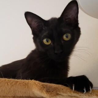 ブラックスモーク風黒猫♪甘えん坊女子「琴」ちゃん