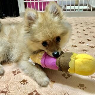 ポメラニアンの子犬・ハチくん☆