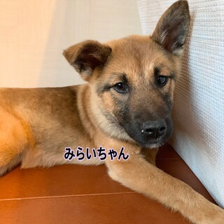 保健所レスキュー☆中型犬子犬☆みらいちゃん