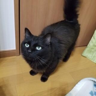 人懐っこい長毛黒猫です