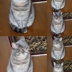 3/26から猫のタオが家を出て帰って来ませんサムネイル