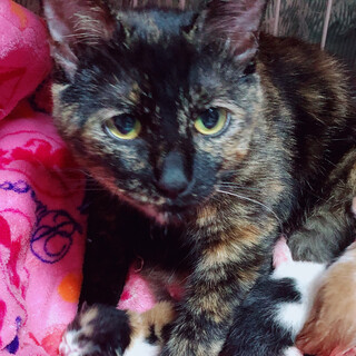 タレ目の可愛い女の子です。しっぽの黒い白猫