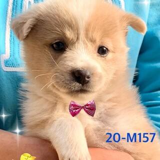 個体識別番号:20-M157 赤ちゃんワンコ