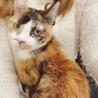 獣医大から保護。甘えんぼのシニア三毛猫ちゃん。 サムネイル3