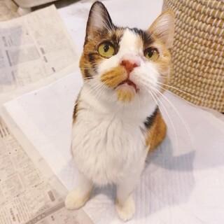 大学で保護されたシニア三毛猫ちゃん。