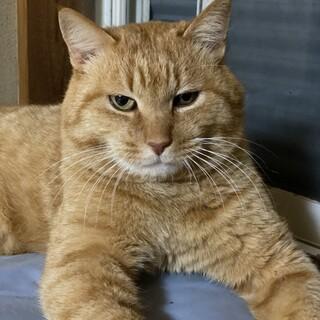 オッドアイがチャーミング 大きくて超可愛い虎猫