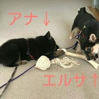 すくすく成長中!コロコロよく遊ぶ賢い子犬の姉妹