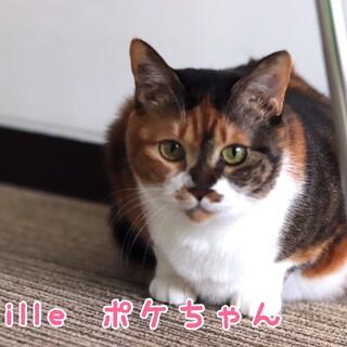 三毛猫 ポケちゃん 里親様募集♡